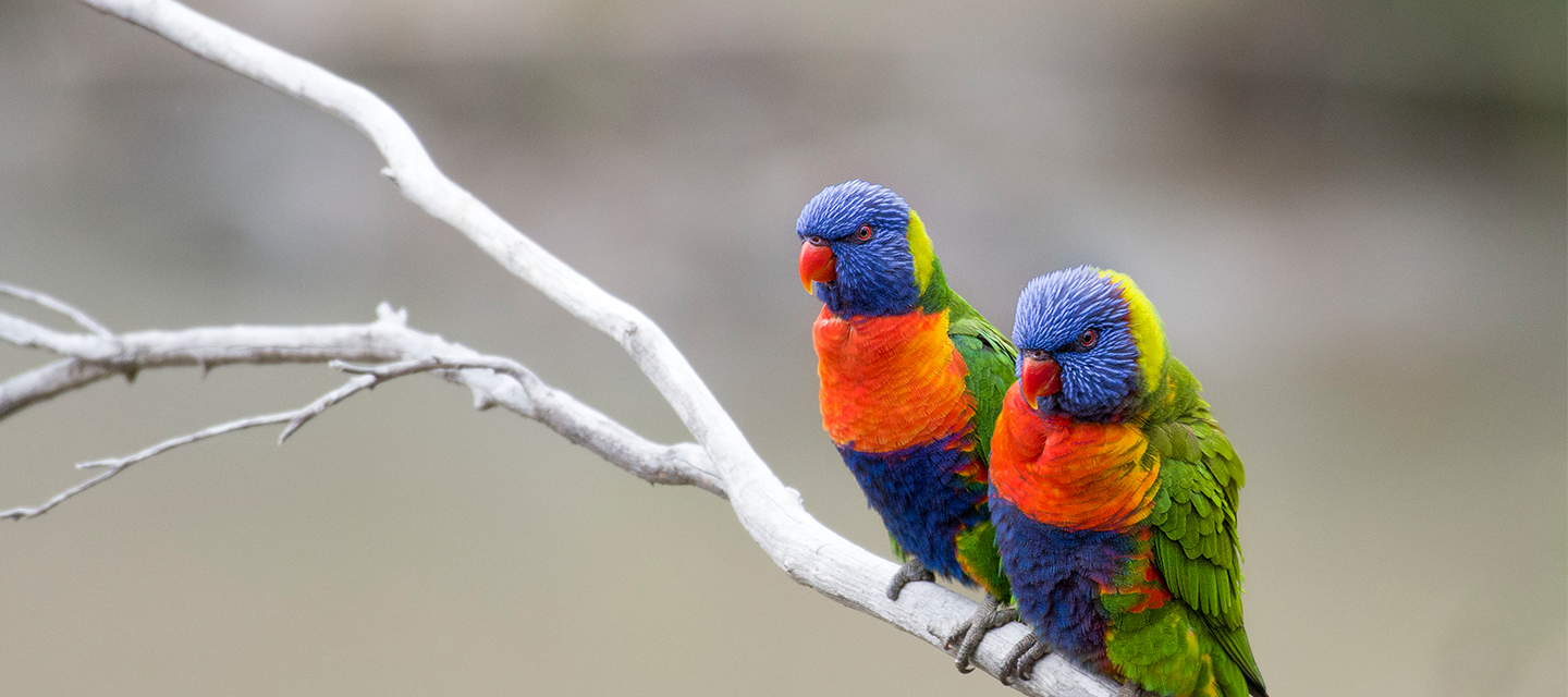 Two Rainbow Lorikeets Perched on a Stick