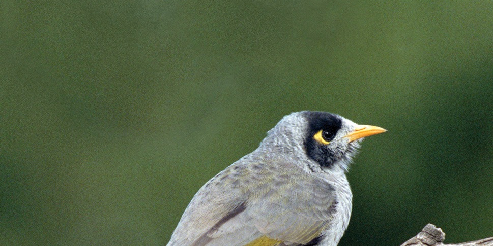 Upper body and head of Noisy Miner bird against a green background