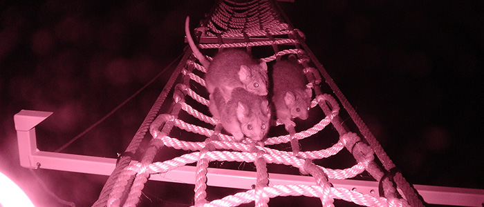 Photo of possums through night vision lens at night